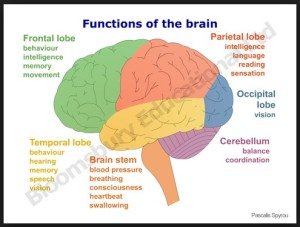 photo functions of the brain Google images
