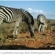 photo zebras