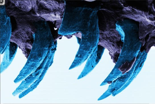 photo-Limpet Teeth