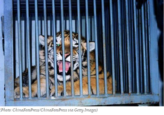 photo--Tiger Cub's Death Leap Exposes Black Market Breeding Ring _ TakePart