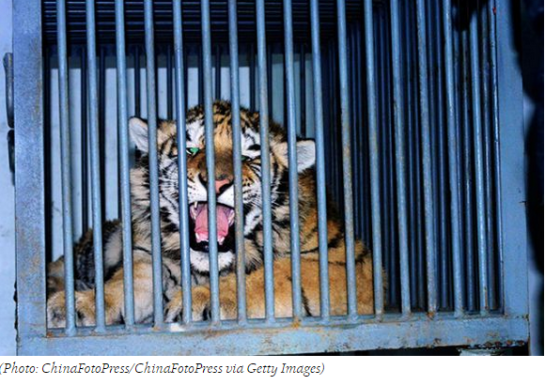photo--Tiger Cub's Death Leap Exposes Black Market Breeding Ring _ TakePart