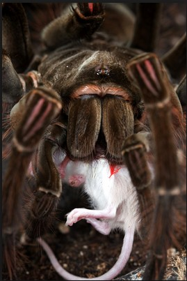 photo-animal-kid.com Goliath Bird Eating Spider