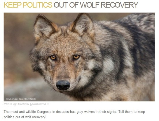 photo-Keep politics out of wolf recovery