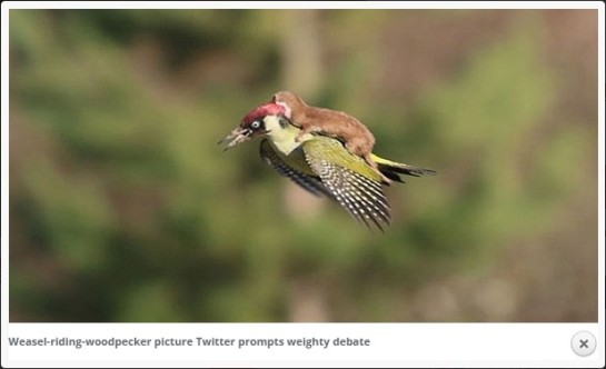 photo-weasel riding woodpecker