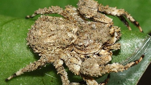 photo-www.rantpets.com Bird Dung Crab Spider