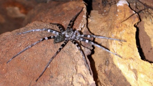 photo-www.rantpets.com  Brazilian Wandering Spider