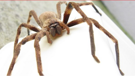photo-www.rantpets.com   Giant Huntsman Spider