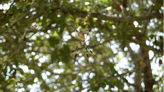 photo-www.rantpets.com    Golden Silk Orb-Weaver