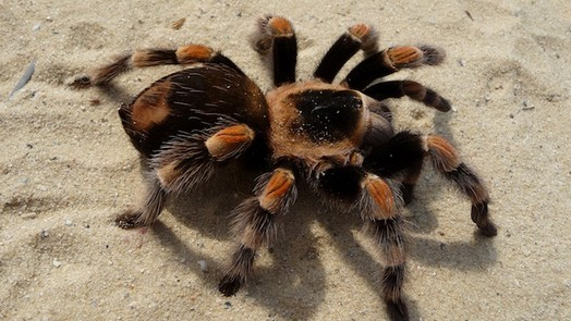 photo-www.rantpets.com  Goliath Birdeater Tarantula
