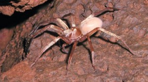 photo-www.rantpets.com Kauai Cave Wolf Spider