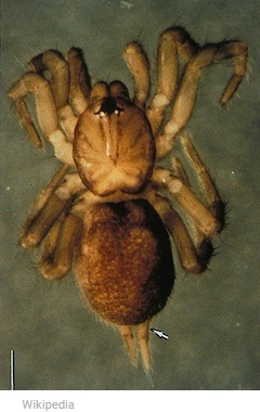 photo-www.rantpets.com   Spruce-Fir Moss spider