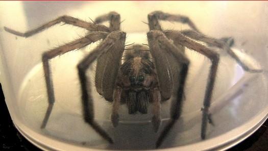 photo-www.rantpets.com Tarantula Wolf Spider