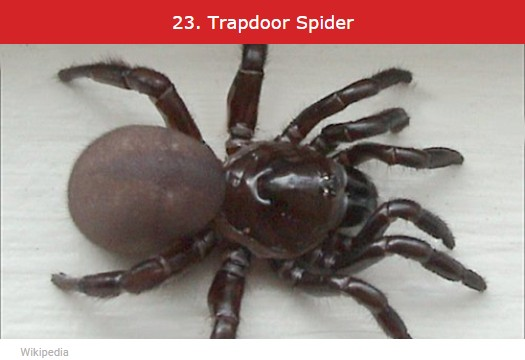 photo-www.rantpets.com Trapdoor spider