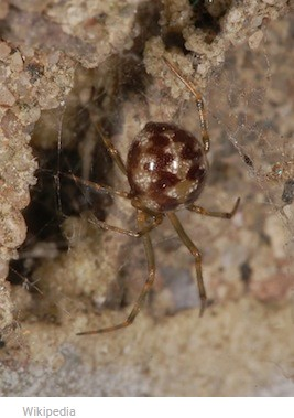 photo-www.rantpets.com   Triangulate cobweb spider