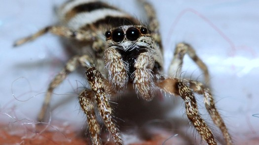 photo-www.rantpets.com Zebra Spider